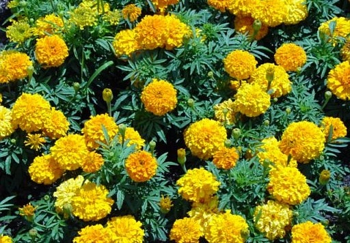 http://www.delicato.co.za/images/Plant%20Photos/marigold.jpg
