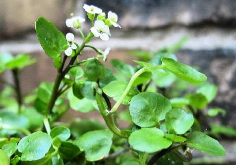 http://www.delicato.co.za/images/Plant%20Photos/Watercress.jpg