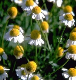 http://www.delicato.co.za/images/Plant%20Photos/chamomile.jpg