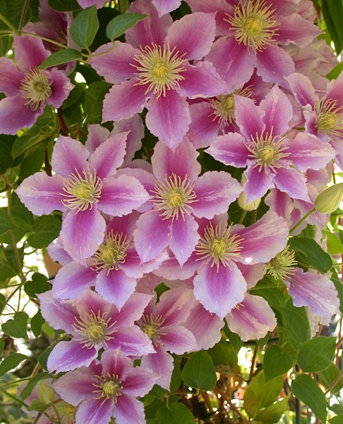 http://www.delicato.co.za/images/Plant%20Photos/clematis.jpg