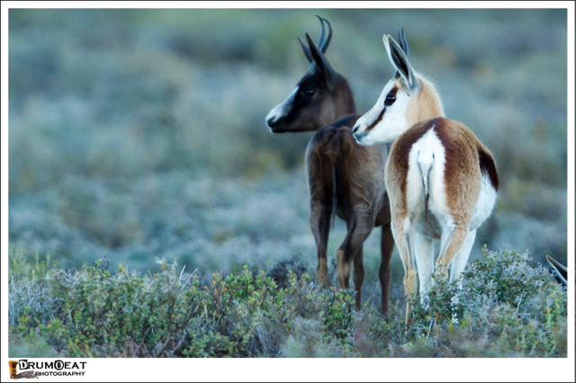 black springbok shadows his true-coloured sibling