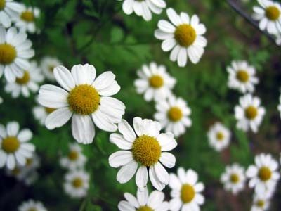 http://www.delicato.co.za/images/Plant%20Photos/German%20Chamomile.jpg