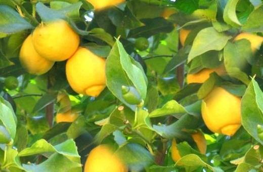 http://www.delicato.co.za/images/Plant%20Photos/lemon.jpg