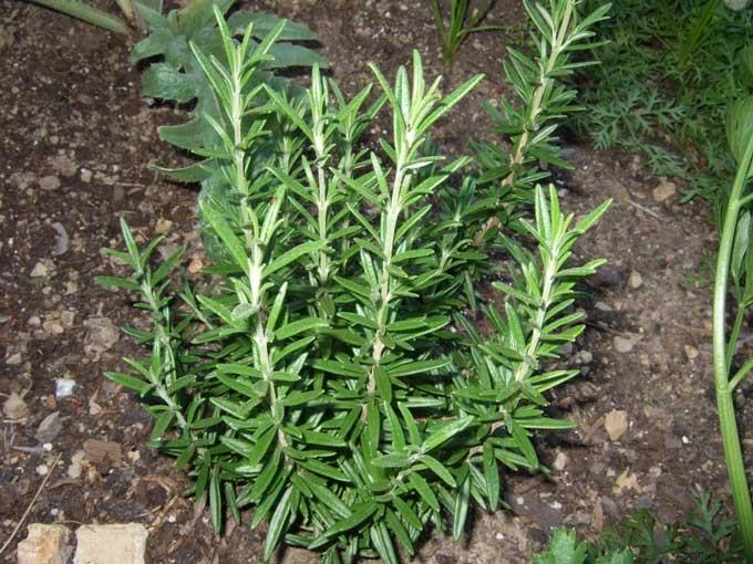 http://www.delicato.co.za/images/Plant%20Photos/Rosemary.jpg