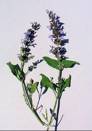 http://www.delicato.co.za/images/Plant%20Photos/sage.jpg