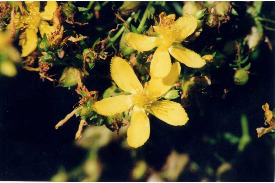 http://www.delicato.co.za/images/Plant%20Photos/soapwort.jpg