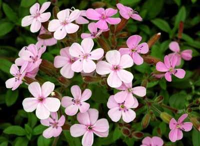 http://www.delicato.co.za/images/Plant%20Photos/St%20John's%20wort.jpg