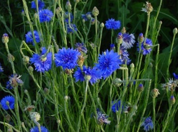 http://www.delicato.co.za/images/Plant%20Photos/cornflower.jpg