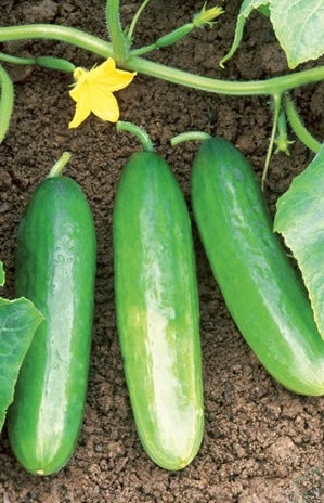 http://www.delicato.co.za/images/Plant%20Photos/cucumber.jpg